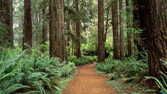 Redwood Path
